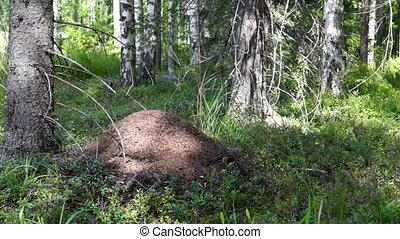 Anthill in morning forest - Anthill in summer wild forest in...