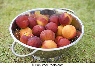 Nectarines in a rinse strainer on grass
