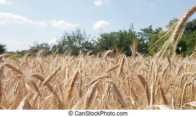 Wheat Field and Spikelets