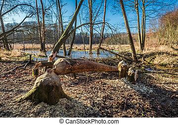 árbol, gnawed, por, Castores, en, el, bosque, en, el,...