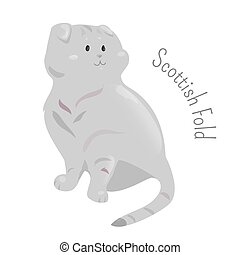 Scottish fold isolated on white background - Scottish fold...
