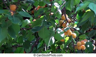 Apricot on tree - Ripe, sweet apricots on a hot sunny day,...