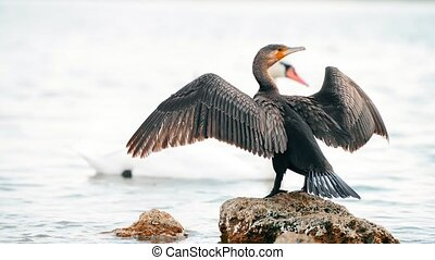 Beautiful cormorant drying and cleaning feathers when...