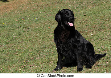 Flat coat retriever. - Working dog, pedigree flat coat...
