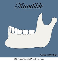 mandible - bite, closure of teeth - incisor, canine,...