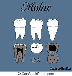 Molar - Human tooth - molar - tooth anatomy - dentine,...