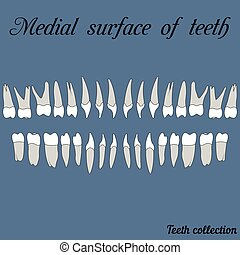 Medial surface of teeth - incisor, canine, premolar, molar...