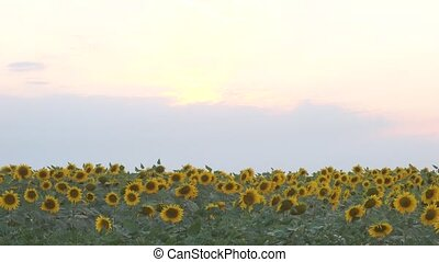 field of yellow sunflowers. LR Pan