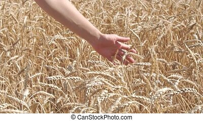 Woman hand touching wheat ears on the field slow motion