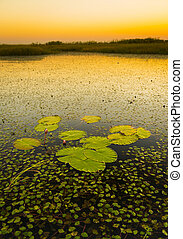 Lily Pads - Lily pads on the water in the Chobe River,...