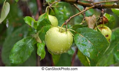 apples on branches of an apple tree in rain - Fresh apples...