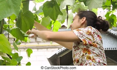 woman caring for grapes