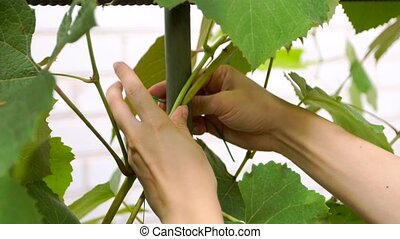 woman caring for grapes - a young woman caring for grapes....