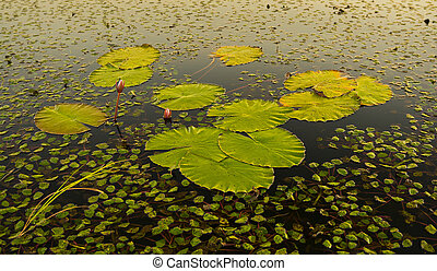 Water Lily Pads - Water lily pads on the water in the Chobe...
