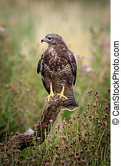 buzzard - A buzzard  perched on a branch