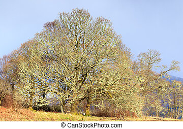 lichen tree - A large tree in scotland full of lichen .