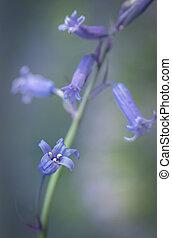 Bluebell Dream - Bluebell