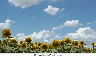 field of yellow sunflowers on a Sunny summer day the clouds...