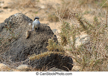 Southern Grey Shrike Lanius meridionalis With a mouse