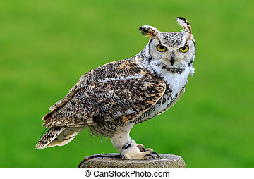 Great horned owl perched on a stump