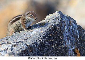 Barbary ground squirrel (atlantoxerus getulus) on a rock
