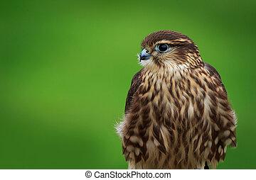 Merlin (Falco columbarius) on a perch
