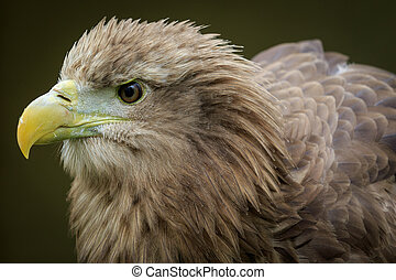 White-tailed eagle (Haliaeetus albicilla) - White-tailed sea...