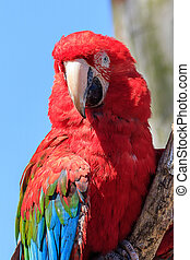 Red-and-green macaw - Red and green macaw perched on a...