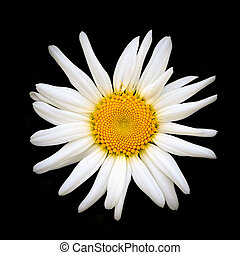 Oxeye daisy close-up on a black background
