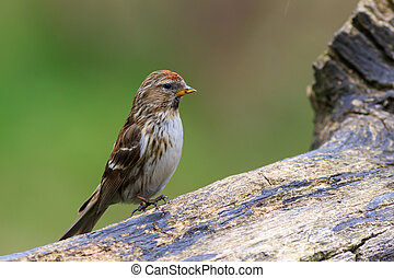 lesser redpoll Acanthis cabaret perched on a branch