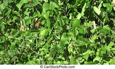 green blooming bean plant in garden on blue sky background....