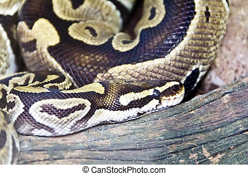 Photo of snake close up in zoo - Photo of reticulated python...