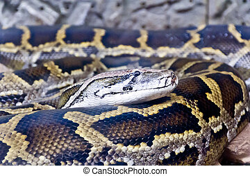 Photo of python head close up - Photo of reticulated python...