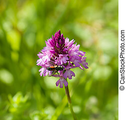 Pyramidal Orchid - Deep pink Pyramidal Orchid on the chalky...