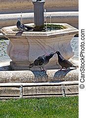 Love scene between pigeons - Nice love scene between pigeons...