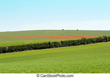 Poppy Field - Swathe of red poppies across a Sussex field