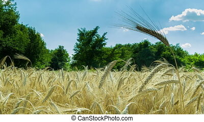 Wheat Field and Spikelets Time Lapse - Wheat Field and...