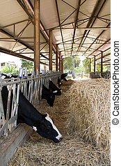 cows eat hay in a cattle shed - chianina cows eat hay in a...
