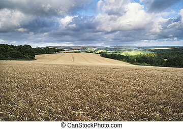 Beautiful landscape image of huge agricultural field of barley on Summer day in countryside
