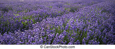 Stunning landscape of lavender field withselective focus for...