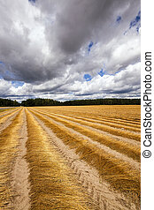 Flax field , autumn - Agricultural field on which was...