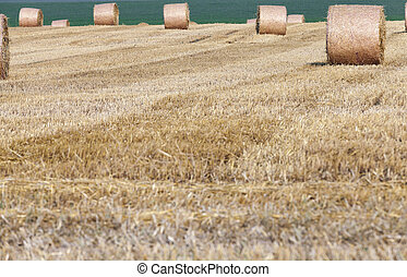 gathering the wheat harvest - agricultural field where crops...