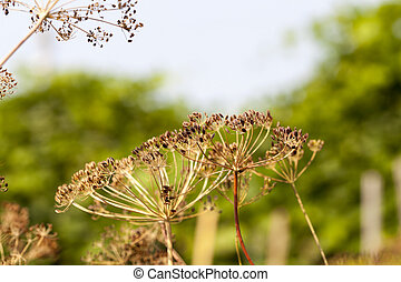 mature dill close-up - photographed close-up of ripe seeds...