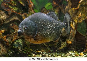 Piranha fish in aquarium - A photo of a piranha fish in an...