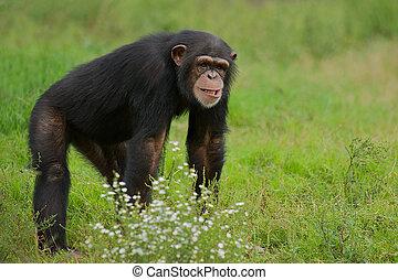 Chimpanzee Pan Troglodytes - Chimpanzee Pan Troglodytes in...
