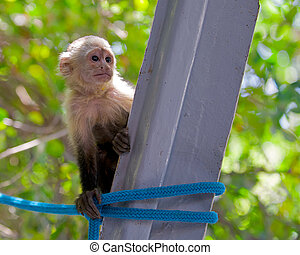 Young white faced capuchin monkey.