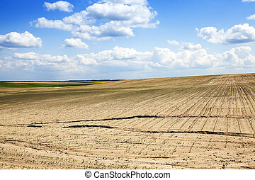 Field of green corn - agricultural field on which to grow...