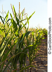 Green immature corn - Agricultural field on which grow green...