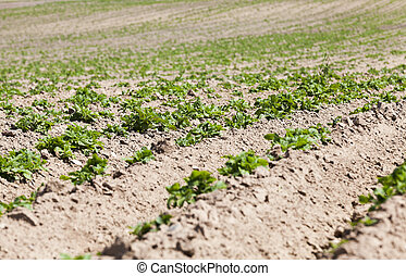 Agriculture Green potatoes - furrow plowed land on which...