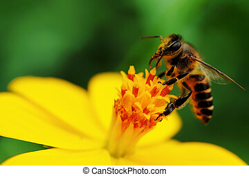 Pollination - A bee busy drinking nectar from the flower